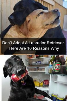 If you're thinking of adopting a dog, make sure it isn't a Labrador Retriever. Here are 10+ reasons why. #dogs #adoption #rescue #pets