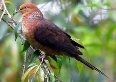 Little Cuckoo-Dove   (Macropygia ruficeps) (350×249)