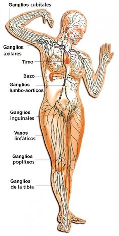 Blood Vessels Anatomy, Cervical Spinal Stenosis, Lymphatic Drainage Massage, Anatomy Images, Human Body Anatomy, Reflexology Massage, Lymphatic System, Anatomy And Physiology, Massage Therapy