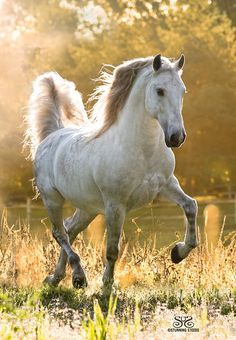 Sunlit Lusitano Stallion - TIROL - of Musicv City Andalusians - by Stunning Steeds