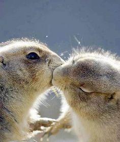 kissing prairie dogs <3