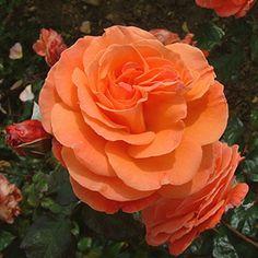 Tatton Rose: Floribundas (cluster roses),2000, bush