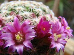 A kaktuszok világa – szemölcskaktuszok Plants, Plant, Planets