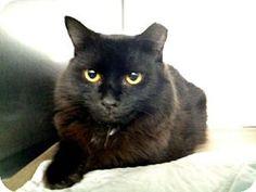 Brooklyn, NY - Domestic Longhair. Meet BLUE BERRY, a cat for adoption. http://www.adoptapet.com/pet/11421572-brooklyn-new-york-cat