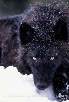 black wolves - wolves Photo