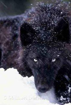 black wolves - wolves Photo