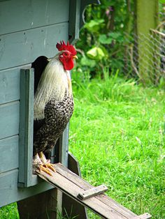 countryparadise:    Beware the guard… rooster? (by sally_monster)