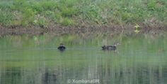 1st sighting of African Black duck at Xombana