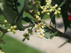 Fleur de Bach & élixir floraux d'olivier bio par le laboratoire DEVA