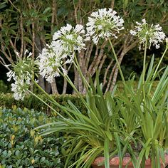 Lily-of-the-Nile - Spectacular Container Gardening Ideas - Southern Living