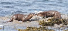 Otters on Mull. We run a number of holidays combining the best wildlife of Speyside and Mull :)