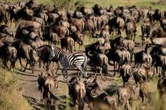 A zebra among hundreds of wildebeest is not an uncommon sight near the Grumeti River in Tanzania. Photograph: Essdras M Suarez of EMS Photography