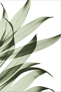 'Song of India I295' Photographic Print - Albert Koetsier   Art.com Pop Art Wallpaper, Plant Wallpaper, Wallpaper Backgrounds, White Backgrounds, Plant Aesthetic, Beige Aesthetic, Aesthetic Iphone Wallpaper, Aesthetic Wallpapers, Typographie Logo