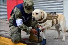 Mexico City earthquake: Rescue Dog who has saved 52 lives launches into searching rubble for trapped victims  Frida was even praised by the country's president