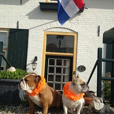"""For our Dutch friends Happy #kingsday We are ready to party #koningsdag#kingsday#netherlands#engelsebulldog #englishbulldog #frenchie #fransebulldog #instagram #ilovebulldogs #ilovefrenchies #igbulldogs_worldwide #iloveenglishbulldogs #bulldog #bullylifetv #bullyinstagram #bullyinstafeauture #dogs #dogsandpals #dutchbulldog #cute"" Photo taken by @astridvanelen on Instagram, pinned via the InstaPin iOS App! http://www.instapinapp.com (04/27/2015)"