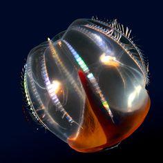 Hidden ocean | Hidden ocean 7 Cydippid ctenophore - Kevin Raskoff