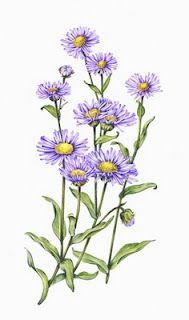 aster flower paintings - Google Search