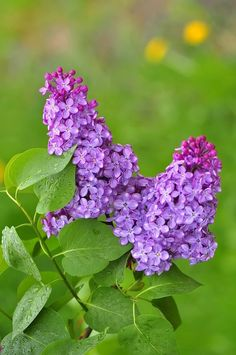 Beautiful Flowers Photos, Flower Photos, Cut Flowers, Purple Flowers, Lilac Bouquet, Gardens Of The World, Garden Entrance, Plant Therapy, Love Garden