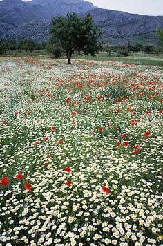 Wild Flower Meadow – photo by Tony Craddock, via Science Photo Library; Red po… Wild Flower Meadow – photo by Tony Craddock, via Science Photo Library; Red poppies (family Papaveraceae) and white daisies (family Composite); on the island of Crete, Greece Wild Flower Meadow, Wild Flowers, Meadow Flowers, Wild Flower Gardens, Field Of Flowers, Spring Wildflowers, Spring Flowers, Daisy Field, Wild Poppies