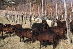 Unsere Schafe dürfen im Winter in den Weingarten Cow, Winter, Animals, Sheep, Winter Time, Animales, Animaux, Cattle, Animal