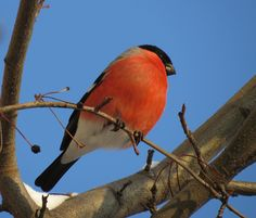 tondra555 Bullfinch, Bird, Animals, Birds, Animaux, Animal, Animales, Animais