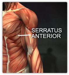 serratus anterior muscles as part of Chaturanga Dandasana.  This goes along with the picture showing Pectoralis Major