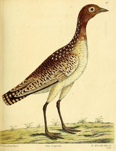 A natural history of birds ; By Albin, Eleazar, fl. 1713-1759. Zoom