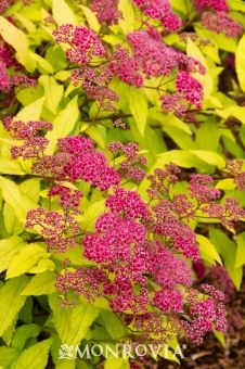 Goldflame Spirea (Spiraea x bumalda Goldflame) - Monrovia - Goldflame Spirea (Spiraea x bumalda Goldflame); full sun, 3-4 foot tall but spreads wide. red flowers in summer - foliage in fall is coppery/orange. good heat tolerance.