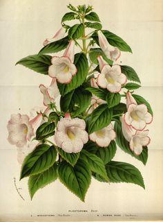 v.19 ([1873]) - Flore des serres et des jardins de l'Europe - Biodiversity Heritage Library 930 x 1265