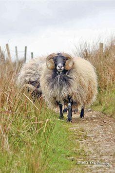 Long horns and a bushy coat of wool!