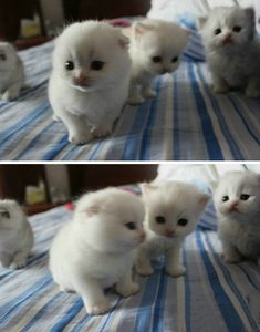 Four tiny white kittens - cuteness explosion.