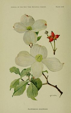 Flowering Dogwood, Wild Plants Needing Protection, 1912