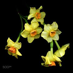 IT IS EASTER WEEK… Daffodils by Magda Indigo on 500px