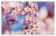 Cherry blossom. Very pretty but probably not around in late Summer/Autumn.