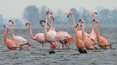 Flamingo's  (Van vroegevogels)