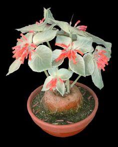 Caudex plant: Sinningia leucotricha - A rare succulent Growing Succulents, Succulents In Containers, Cacti And Succulents, Planting Succulents, Planting Flowers, Unusual Plants, Rare Plants, Exotic Plants, Cool Plants