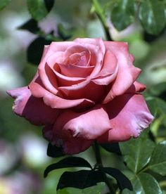 'We Salute You' | Hybrid Tea Rose. Tom Carruth 2005 | Flickr – @ Cap001-Dan