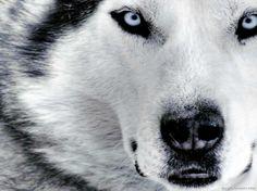 husky husky :-)