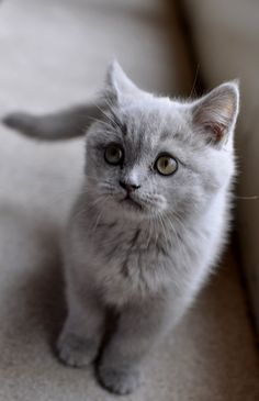 shmall gray kitten .