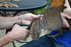 Chicks Go Christmas Shopping...and How to Clip Wings to Keep Them from Flying the Coop.