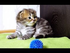 ▶ I am Panda: the smallest and most innocent girl kitten - YouTube