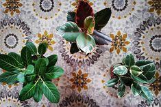 #ficuselastica hashtag on Instagram • Photos and Videos Ficus Elastica, Rubber Tree, Plant Leaves, Photo And Video, Videos, Plants, Photos, Instagram, Pictures