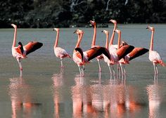 "Knowledge Era: Flamingos Apply ""Makeup"" to Impress Mates"