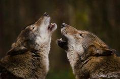- Howl Together -