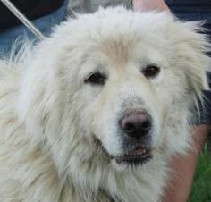 Kingston is an adoptable Great Pyrenees Dog in Thompson, CT. Kingston is a wonderful boy. He is sweet, gentle and has been wonderful with kids, dog, cats and everyone he meets. Kingston is little over...