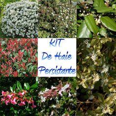 Achat Kit de haie persistante - Kit de 35 plantes