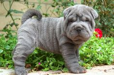 Look at those wrinkles! I'm gonna name him Balou :D #BlueShariPei #puppy