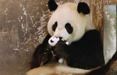 Gongzhu learning parenting skills with a toy cub after rejecting her two cubs born in 2003. In 2004 she successfully raised a new cub at the Wolong Nature Reserve in China.    © Katherine Feng / Minden Pictures.