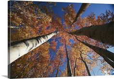 fall aspen trees in wrangell saint elias alaska
