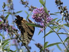 This tiger swallowtail butterfly is a pollinator that could benefit from a little more green space